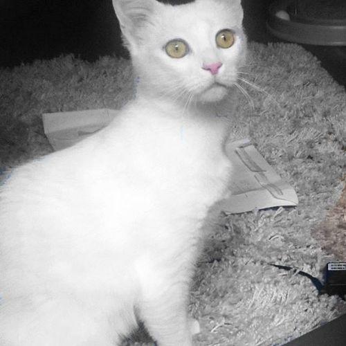 No compres, adopta. Así de guapa está ahora Nata tras casi 5 meses viviendo con nosotros; era una gatita que había sido abandonada y llevaba meses viviendo en la calle. Ahora tiene un hogar y una familia que la adora 😊 Gallery_of_splash Amazing_picturez Pocket_colorsplash Cats Catsofinstagram Catstagram Estaes_splash Infinity_colorsplash Colorsplash_of_our_world Colorsplash_bu Meowbox Meow_beauties Topcatphoto Catlover Adoption Cute Whitecat Kitty Bestcats_oftheworld Bestmeow Webstagram Tagsforlikes Photooftheday Picoftheday Flaffy101cats all_shots instagood cats_of_instagram cutepetclub wewantcats