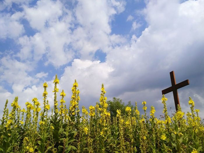 Lone cross among great mullein flowering plants in Poland, Europe. Yellow blossoms of Verbascum thapsus on the blue sky. Cross Yellow Cloud - Sky Sky No People Nature Outdoors Day Rural Rural Scene Verbascum Verbascum Thapsus Mullein Mulleins Flowering Plants Blossoms  Blossom Blossoming  Blooming Bloom Flowers Crucifix Mothernature Abloom