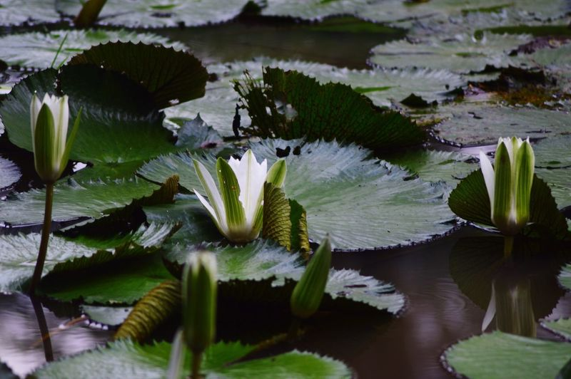 High Angle View Of Water Lilies Buds Growing In Pond