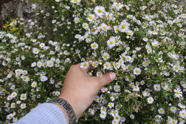 Cropped hand holding daisies blooming on land