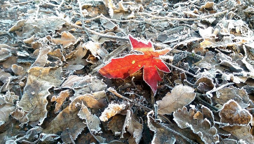 Frosty leaves with a touch of autumn Close-up Outdoors Nature Beauty In Nature Red Textured  No People