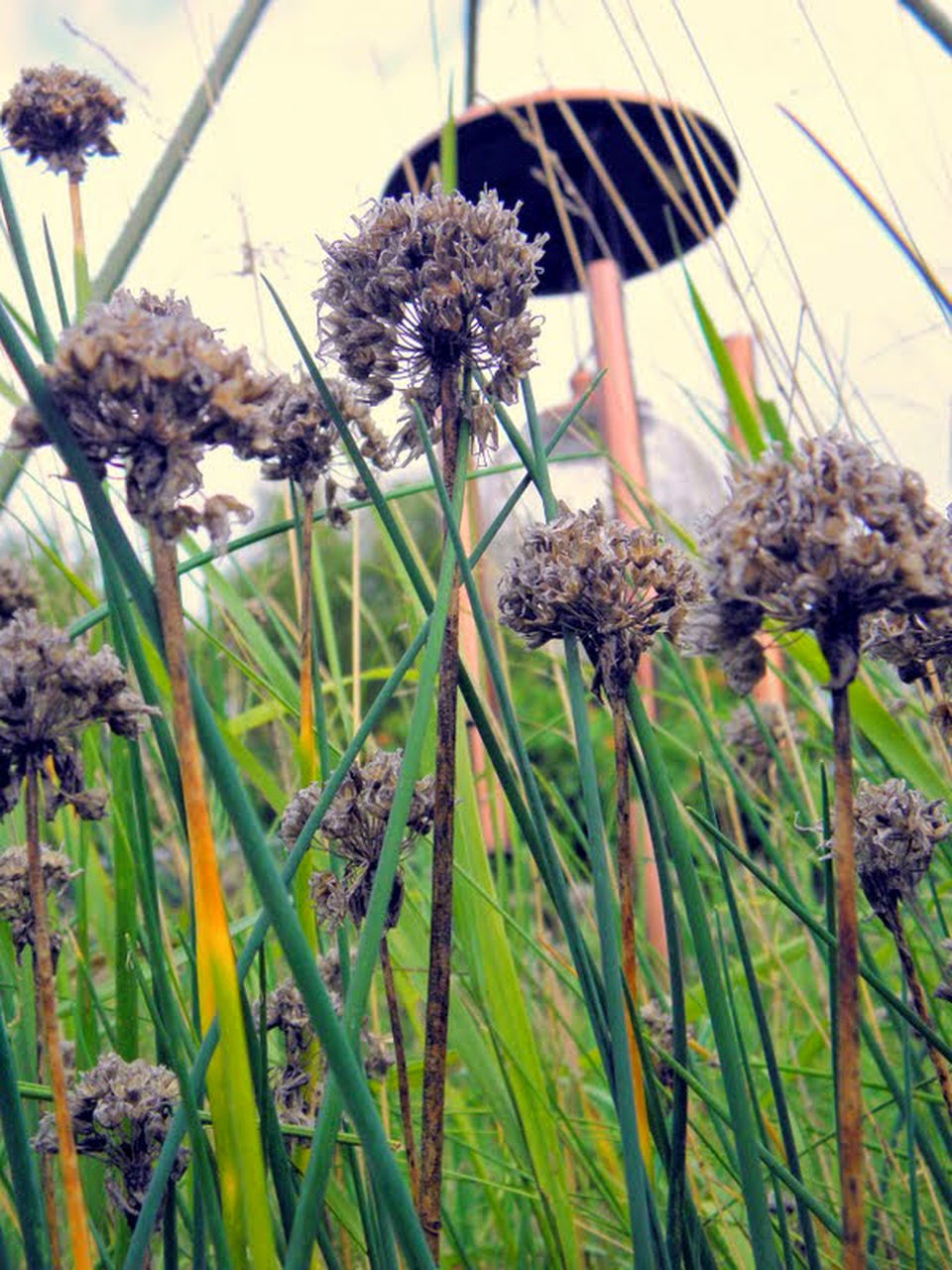 flower, plant, fragility, nature, growth, flower head, thistle, no people, beauty in nature, wilted plant, close-up, freshness, day, outdoors
