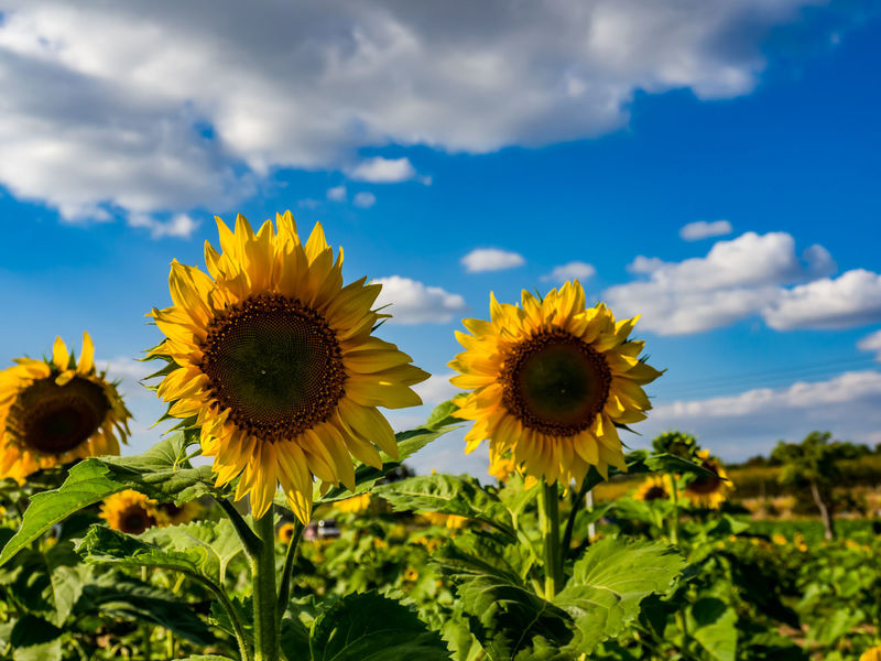 Asian  Sunflower🌻 Yellow Flower Sky Blue And Clouds Flower Plant Cloud - Sky Nature Flower Head Growth Botany Sunflower Beauty In Nature Sky No People Outdoors