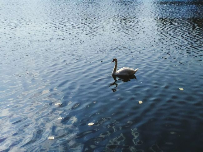 Feeding  Feeding The Birds Feeding Time Feeding Animals Swan Swan Lake Swans ❤ Swans On The Lake Swans Of Eyeem