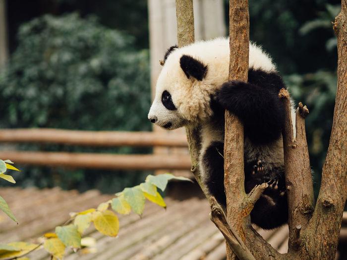 Animal Themes Animal Wildlife Animals In The Wild Chengdu China Day Giant Panda Mammal Nature No People One Animal Outdoors Panda - Animal