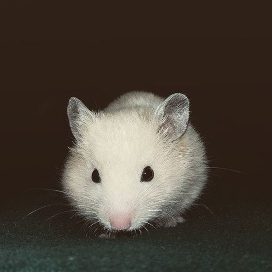 Hamster Syrianhamster Coco