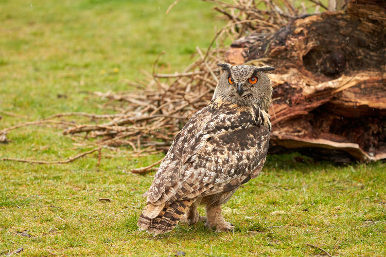 Close-up of owl perching on land