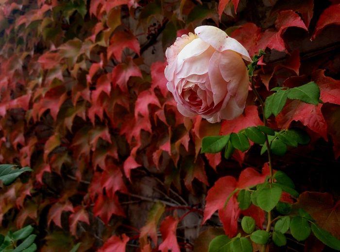 Flower Fragility Freshness Season  Beauty In Nature Rose - Flower Blossom Nature Softness Крым VSCO Flowers Crimea Red Botany Flower Head Springtime Pink Color In Bloom Selective Focus Flower Fragility Freshness Petal Season