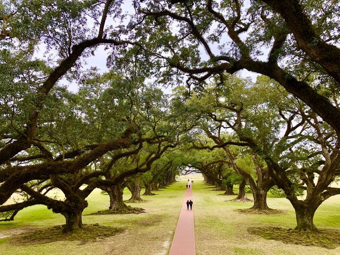 View from the 2nd floor veranda looking down the namesake of the plantation. Louisiana Oak Trees Oak Alley Plantation House The Way Forward Nature Outdoors Day Beauty In Nature