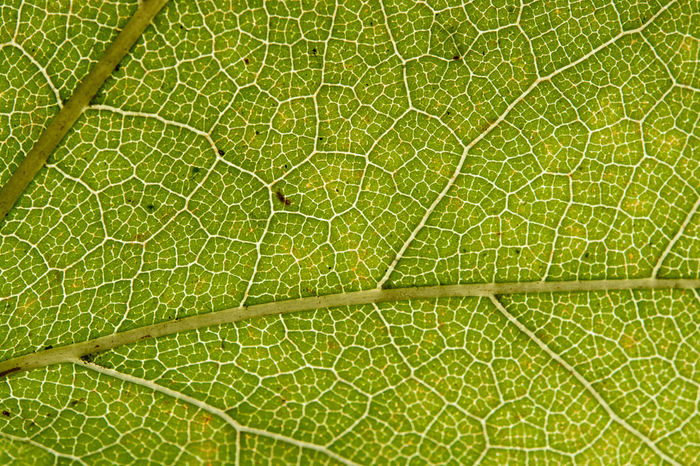 Vein of maple leaf with macro in front of sun Backgrounds Beauty In Nature Close-up Day Full Frame Green Color Leaf Macro Maple Maple Leaf Nature No People Outdoors Pattern Vein Veins In Leaves