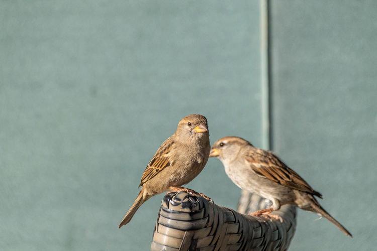 House sparrow, passer domesticus, perched on a garden wicker chair in agadir, morocco