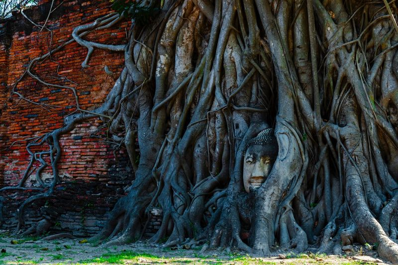 Buddha statue, Wat Mahathat, Ayutthaya, Thailand Buddha Statue Buddha Ayutthaya Travel Thailand EyeEm Thailand Wat Thai Wat Mahathat Temple Root Plant Tree Growth Nature Architecture Beauty In Nature Religion Outdoors