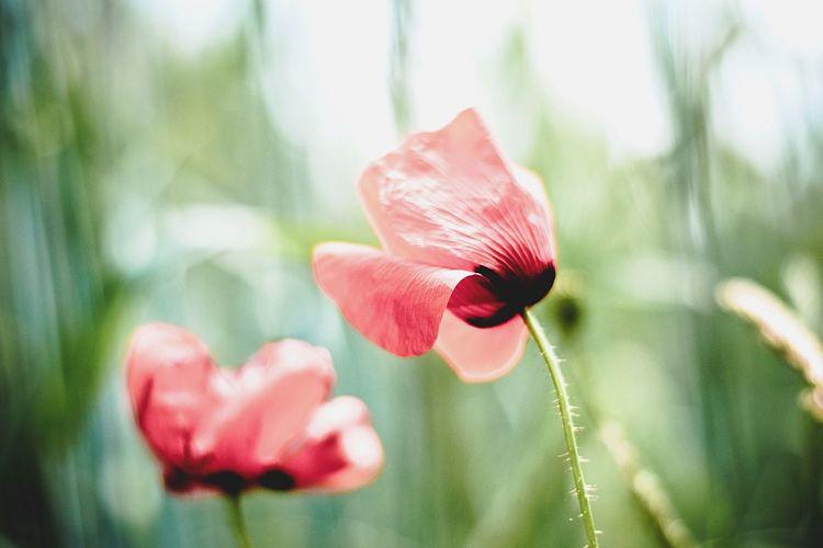 Open Edit Poppy Flowers Field Taking Photos Summer Beautiful Nature Enjoying Life Nature On Your Doorstep Germany