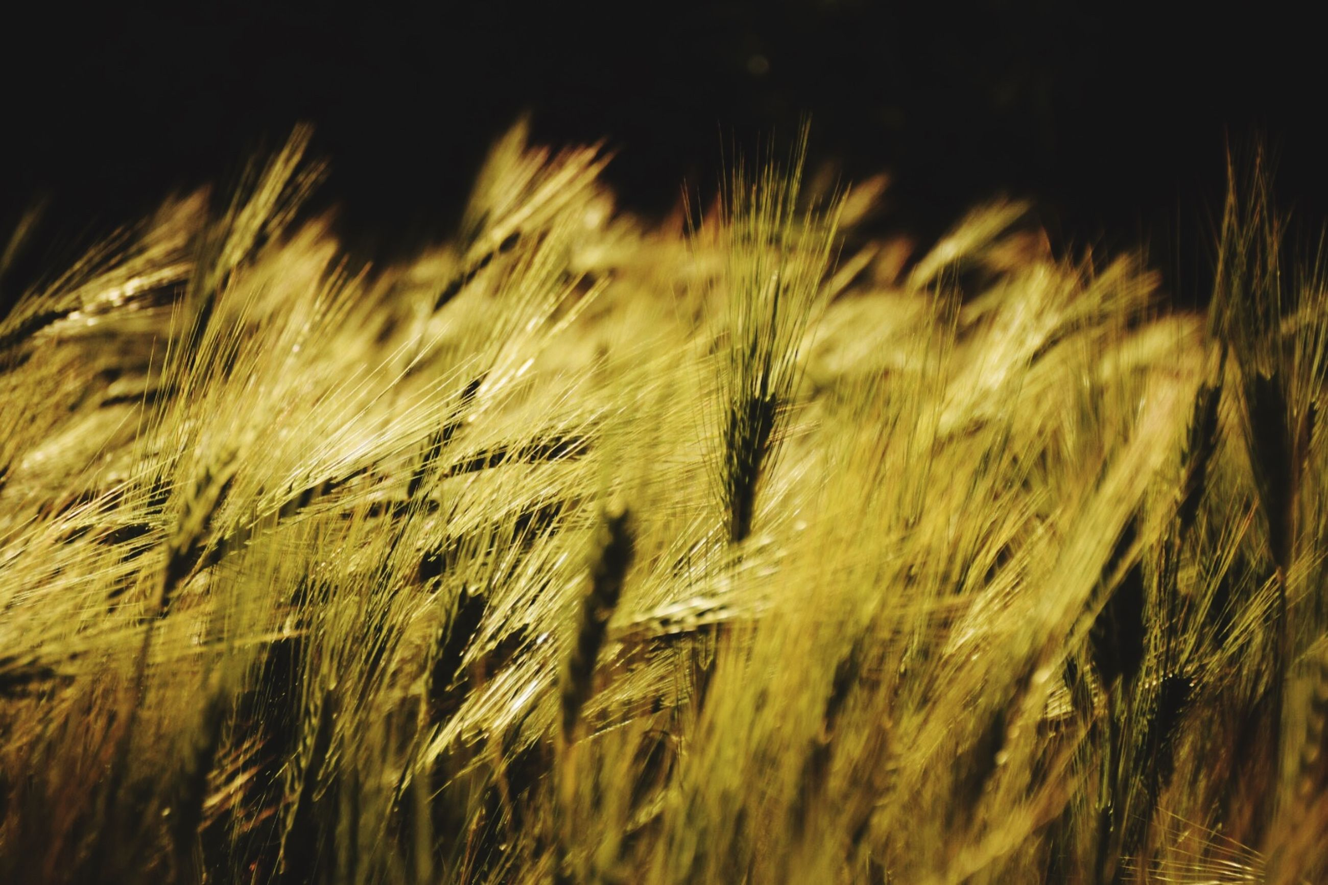plant, growth, agriculture, field, crop, land, cereal plant, nature, selective focus, no people, close-up, rural scene, beauty in nature, day, landscape, tranquility, farm, wheat, grass, outdoors, wind, stalk, timothy grass