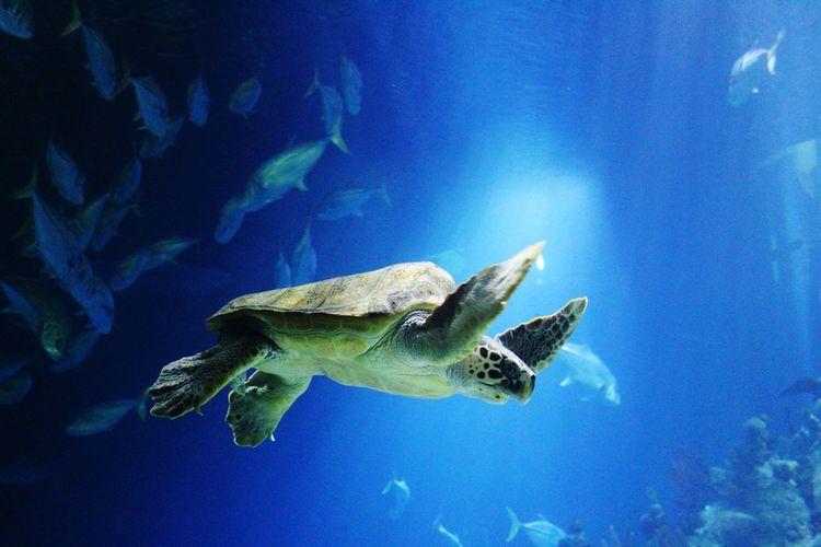 Blue UnderSea Sea Life Swimming Water Underwater Sea Turtle Sea Aquarium Fish Turtle Animals In Captivity
