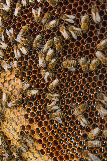 Bee APIculture Animal Themes Beehive Animal Animals In The Wild Honeycomb Animal Wildlife Honey Bee Group Of Animals Invertebrate Insect Large Group Of Animals Close-up No People Beauty In Nature Full Frame Nature Day Abundance