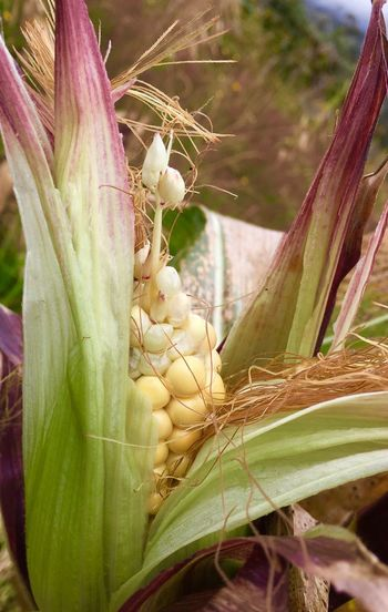 Maize Corn Plant Close-up Nature Growth Day No People Focus On Foreground Beauty In Nature Plant Part Flower