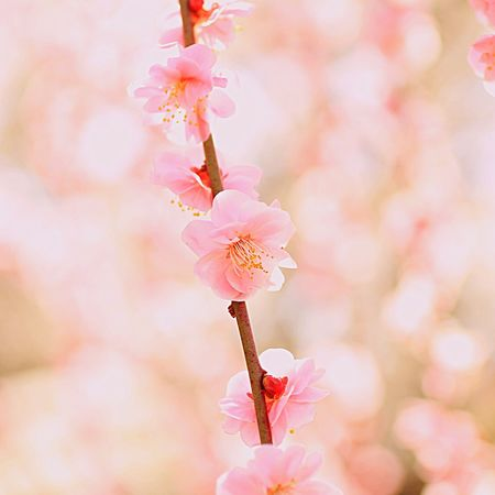 Flower Fragility Nature Pink Color Beauty In Nature Close-up Petal Freshness Growth Flower Head No People Focus On Foreground Outdoors Day Springtime Tree Plum Blossom 梅 梅林 ピンク 花