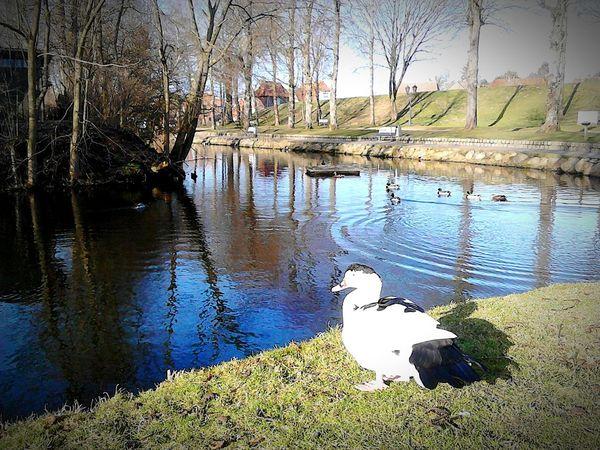 Ente Wasser