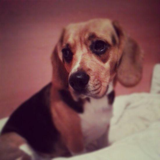 A dOrmir ZzzzZzZ Goodnight Bonanit Buenasnoches Mybeagle beagle hada mydog lovemybeagle pets love cute lovely mollet catalonia autumn
