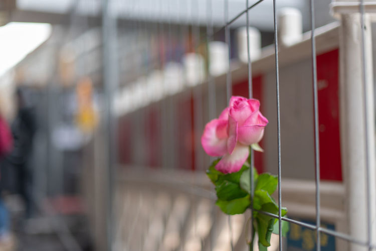 Hoffi99 Architecture Flower Flowering Plant Plant Beauty In Nature Pink Color Vulnerability  Rosé Freshness Rose - Flower Nature Petal Fragility Close-up Focus On Foreground Selective Focus No People Fence Growth Flower Head Outdoors