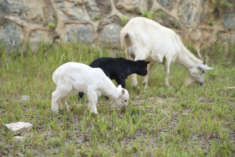 Walking Around Baby Goats China Trip Leica_camera Leica M-P