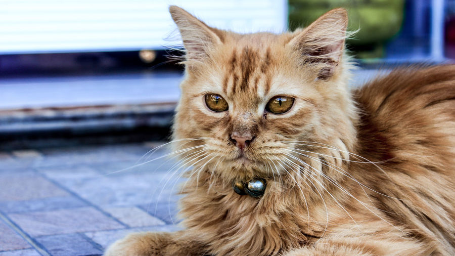 Portrait of ginger cat relaxing outdoors