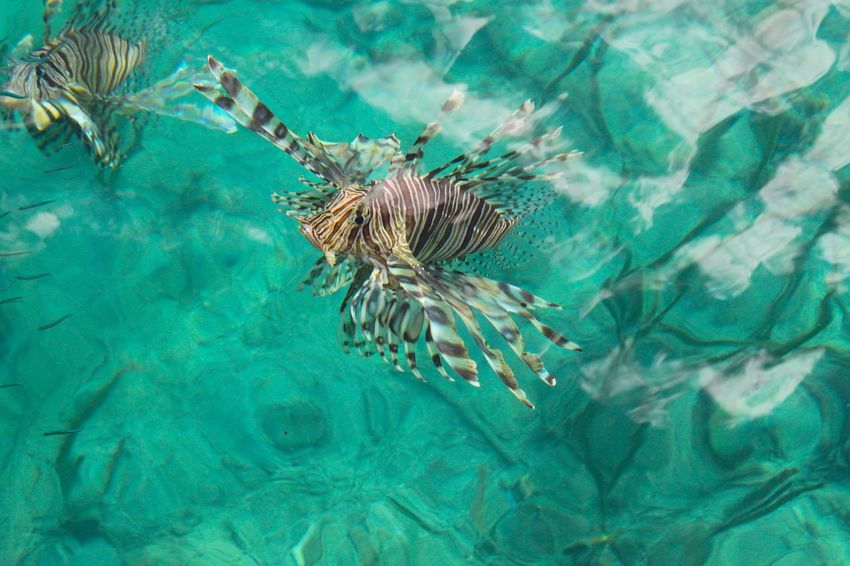 Lion Fish Sulawesi Togian Islands...