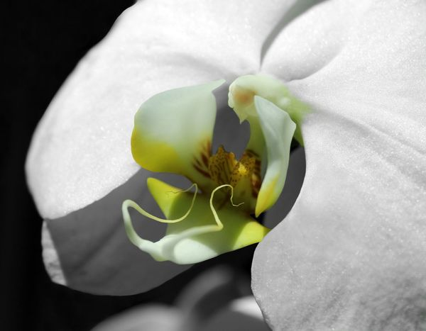 Orchid Fine Art Photography Fine Art Phalaenopsis EyeEm Orchids Color Splash Yellow Orchid Black And White Orchid Showcase July Faces In Nature Faces Of EyeEm Macro Orchid Bird Wings From My Point Of View Macro_flower EyeEm Masterclass Single Orchid Single Object Still Life Flowers Black White Yellow Macro Photography Macro Flowers The Magic Mission Perspectives On Nature