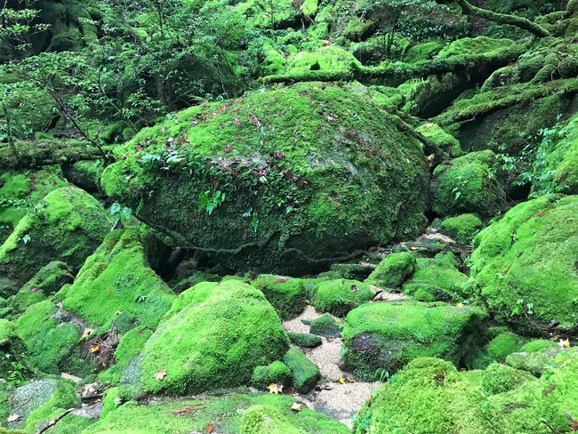 Mossy Green Color Outdoors Nature Day Rock - Object No People Lush Foliage Moss Beauty In Nature Tranquil Scene Water Scenics Freshness Close-up Yakushima, Japan Yakushima Yakushima,japan Green Green Green!