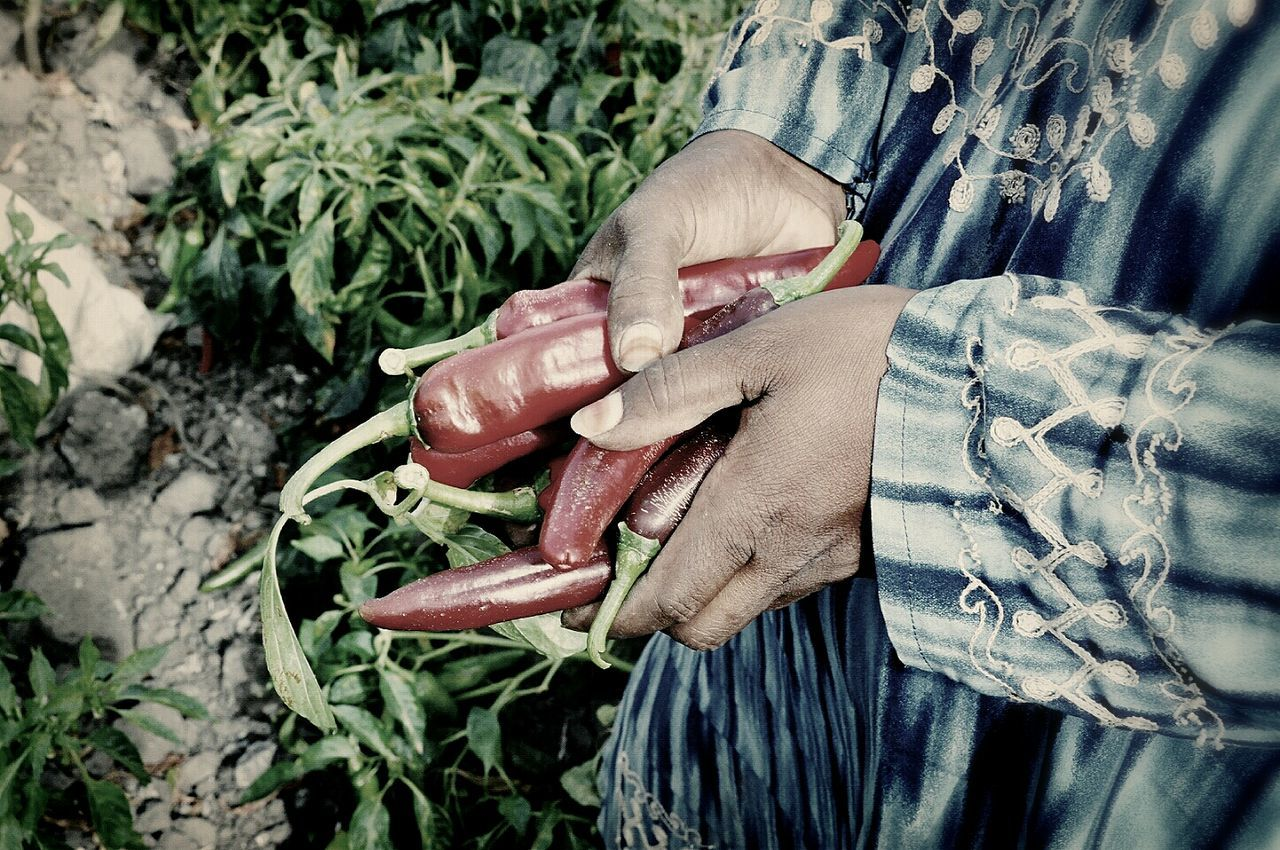 Cropped image of farmer holding chili pepper in farm