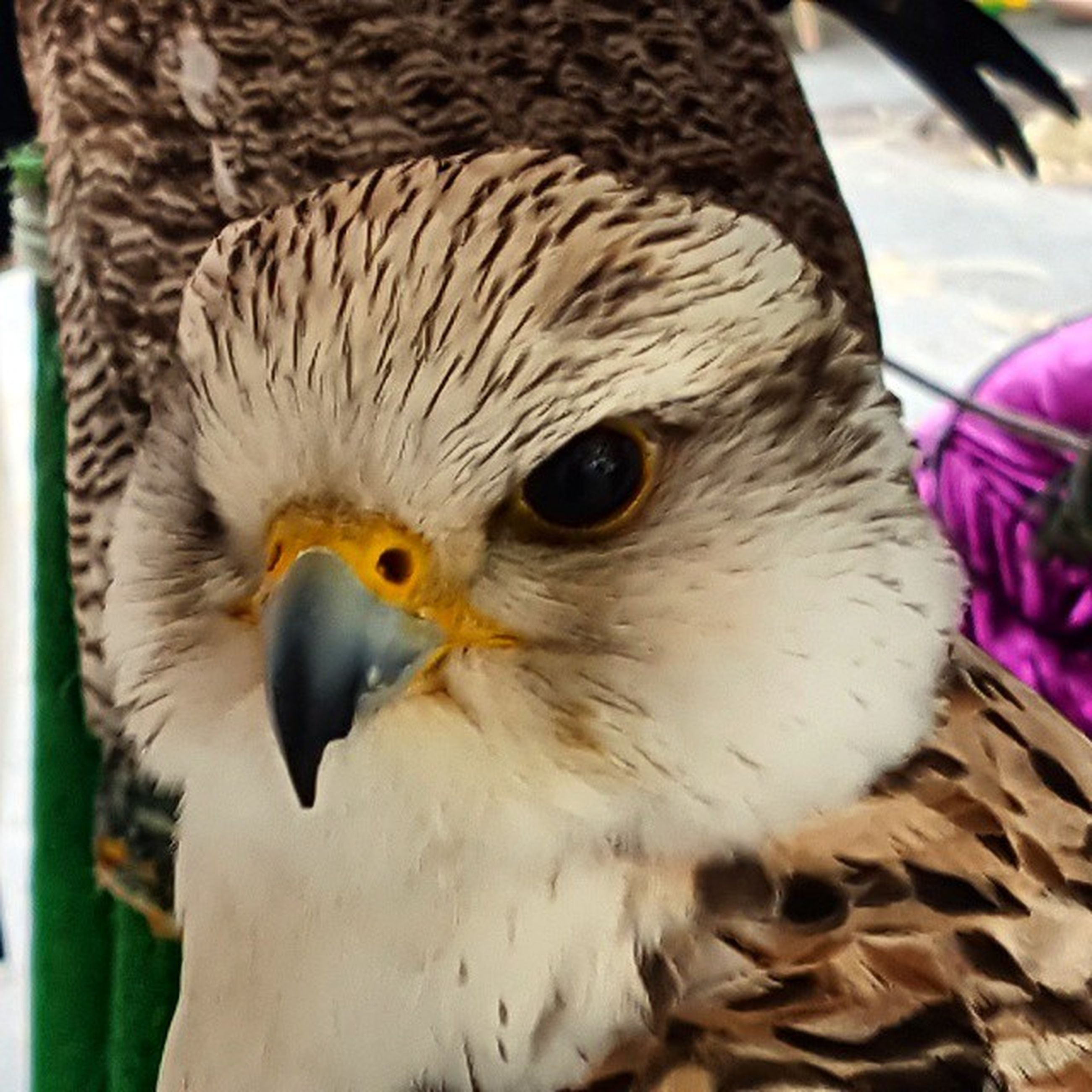 bird, animal themes, animals in the wild, one animal, beak, wildlife, close-up, animal head, focus on foreground, bird of prey, nature, portrait, looking at camera, outdoors, perching, front view, owl, day, no people