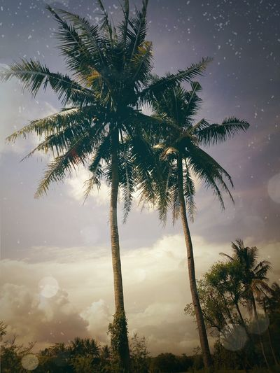 Tree Palm Tree Pinaceae Nature Sky Outdoors Single Tree Cloud - Sky Scenics Needle - Plant Part Tree Area Yogyakarta INDONESIA Plant Beauty In Nature Pohonkelapa Sore Hari Alam_indonesia Indonesiaku Alamindonesia