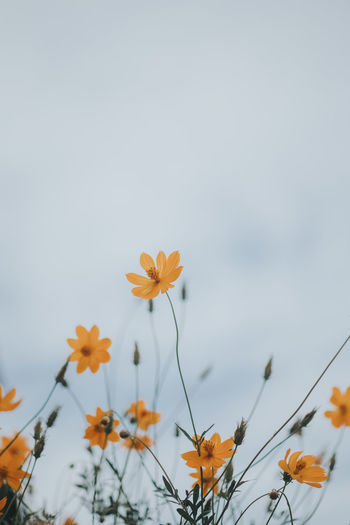 Close-up of orange cosmos flowers against sky