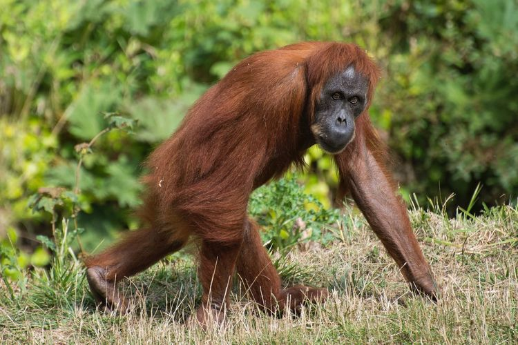 Orangutan Animal Summer