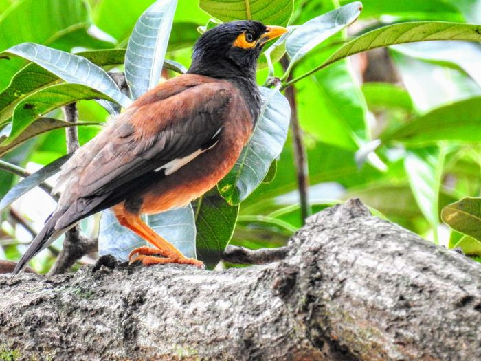 A Mynah perched on a tree branch Animals In The Wild Beauty In Nature Bird Branch Close-up Day Nature One Animal Outdoors Perching Tree