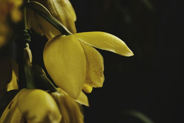 Festival das Flores Flower Close-up Nature Petal Beauty In Nature Flower Head Yellow Day Outdoors Fragility No People Growth Freshness EyeEmbestshots EyeEmNewHere EyeEm Best Shots EyeEmBestPics Vintage Style Festival Of Flower Perspectives On Nature
