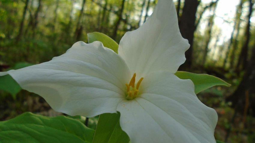 Flower Wild Flowers Close Up Nature Soft Petals White Forest Photography