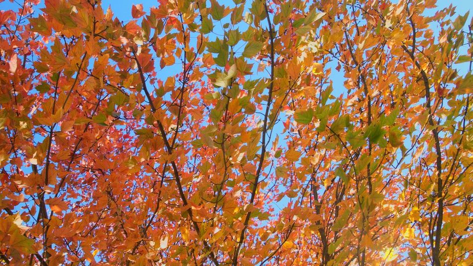 Autumn Nature Orange Color Tree Low Angle View Change No People Growth Full Frame Backgrounds Branch Beauty In Nature Sky Close-up Outdoors Day