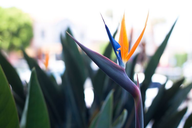 Bird of paradise, beautiful nature Beauty In Nature Bird Of Paradise - Plant Blooming Close-up Day Flower Flower Head Focus On Foreground Fragility Freshness Growth Nature No People Outdoors Petal Plant