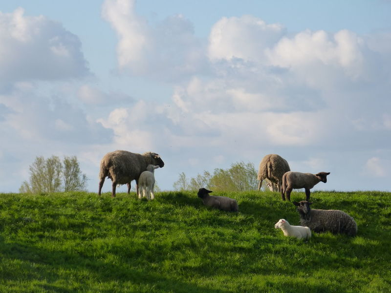 Sheeps on dyke in spring in Ostfriesland - North Sea - Northern Germany ... :-) Animal Themes Beauty In Nature Cloud - Sky Day Domestic Animals Dyke  Dyke Look Field Grass Grazing Livestock Mammal Nature No People Nordsee North Sea Coast North Sea Region Ostfriesland Ostfriesland Kultur Outdoors Sheep Sheep Farm Sheep On Dike Sheeps Sky