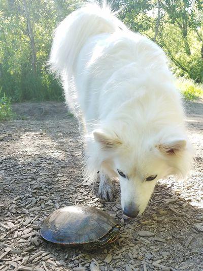 Pets Dog Domestic Animals Mammal Animal Themes Nature No People Outdoors Close-up Turtles Turtle American Eskimo