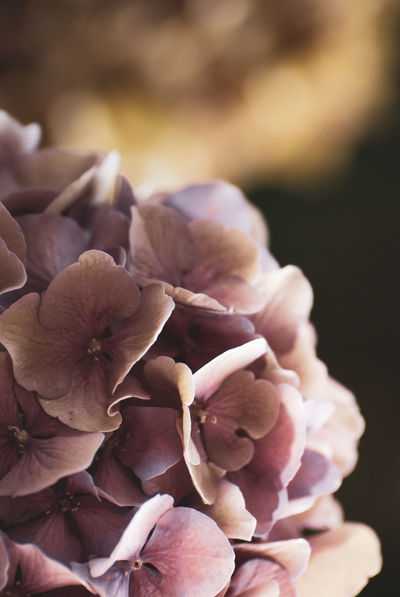 pink floral backdrop - hydrangeas Flower Close-up Flowering Plant Plant Beauty In Nature Freshness No People Vulnerability  Petal Fragility Focus On Foreground Growth Day Nature Flower Head Hydrangea Inflorescence Food And Drink Selective Focus Pink Color