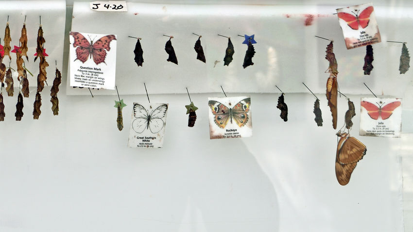 Metamorphosis Of A Butterfly 2 Entomology Butterfly's Life Cycle Macrolepidopera Insect 4 Stages: Egg,larva,pupa,adult Different Goals Egg: Incubation Larva: Caterpillar Eats To Grow Pupa: Chrysalis Transitions To Butterfly Adult: Searches For Mate To Reproduce Butterflies As Adults Live From 1 Week To A Year Depending On The Species Winged Adult Lay Eggs On Food Plants Larvae/caterpillars Feed On These Plants Superfamily Hedyloidea Superfamily Papillionoidea Rhopalocera From The Order Lepidoptera Moths Display Case Conservatory Of Flowers