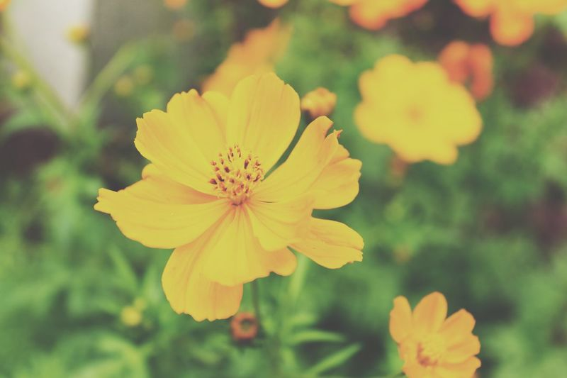 Beauty In Nature Blooming Close-up Day Flower Flower Head Focus On Foreground Fragility Freshness Growth Macro Nature No People Outdoors Petal Plant Yellow