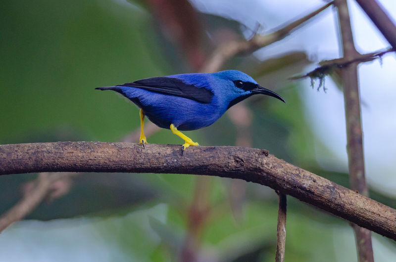 Shining Honeycreeper (Cyanerpes lucidus) in Puerto Viejo de Sarapiqui Costa Rica Cyanerpes Lucidus Sarapiqui Shining Honeycreeper Animal Animal Wildlife Animals In The Wild Bird Heredia Honeycreeper Nature One Animal Perching Tanager Tropical Wildlife