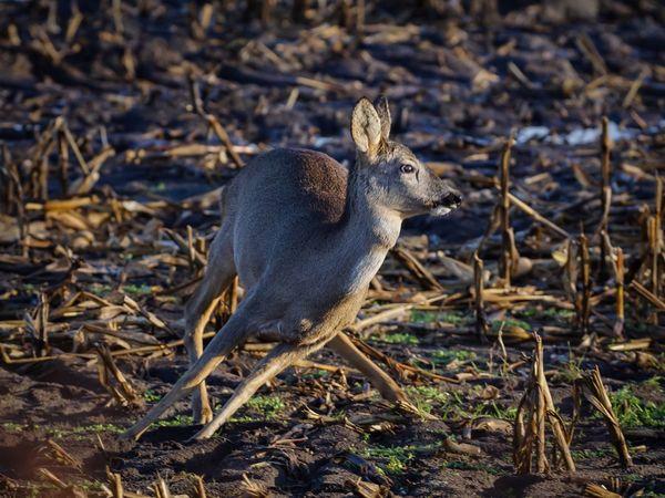 auf'm Sprung Deer Reh Wildlife Field One Animal Animal Wildlife Animals In The Wild Full Length Animal Themes Nature Wild Schleswig-Holstein Germany