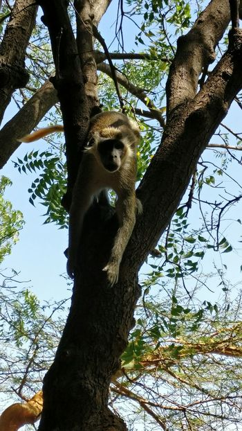 Senegal Bandia Natural Reserve Monkey Animal Themes Nature Outdoors Tree Low Angle View Animal Themes One Animal Nature