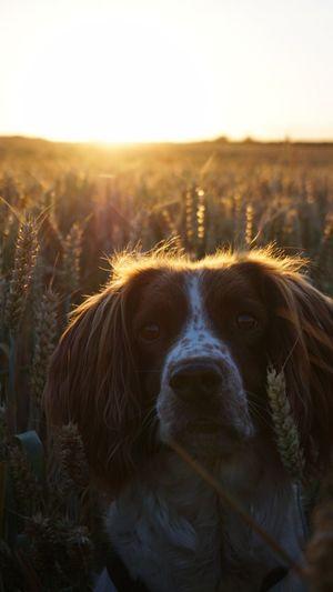 woof woof Domestic Animals Portrait Dog Pets First Eyeem Photo EyeEm New Here Summer Summertime Landscape Field Sunset First Eyeem Photo Pet Portraits