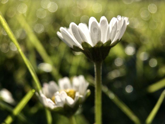 Autumn daisy